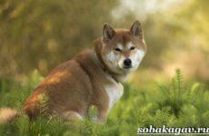 Акита ину собака. Описание, особенности, уход и цена акита ину