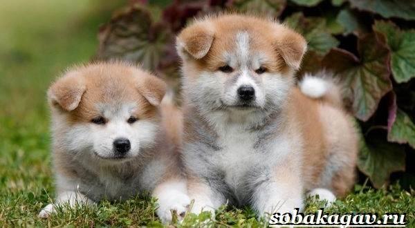Акита-ину-собака-Описание-особенности-уход-и-цена-акита-ину-12