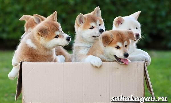 Акита-ину-собака-Описание-особенности-уход-и-цена-акита-ину-2