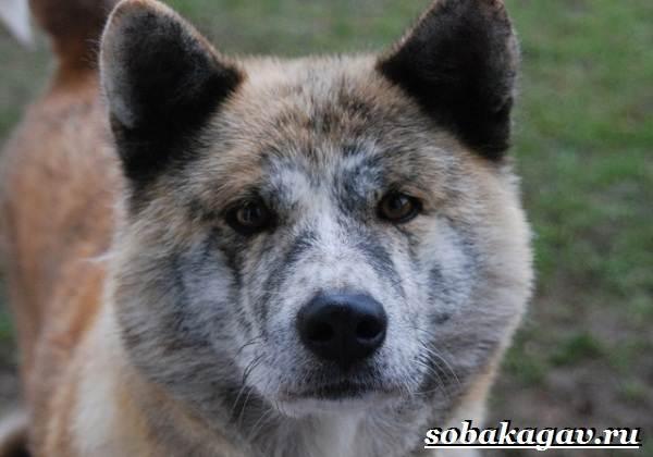 Акита-ину-собака-Описание-особенности-уход-и-цена-акита-ину-4