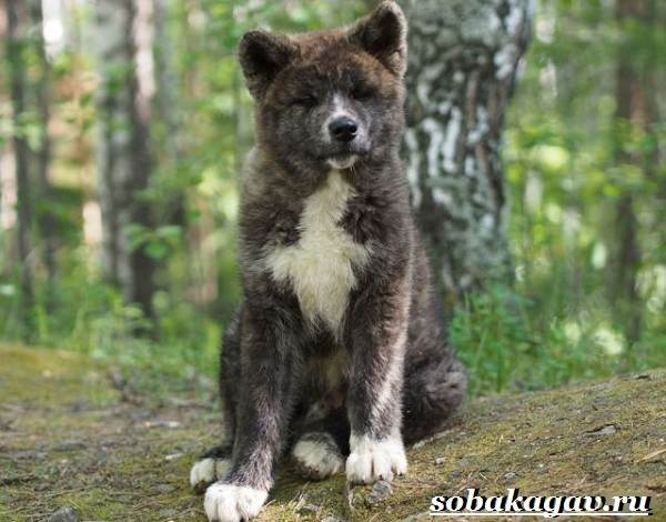 Акита-ину-собака-Описание-особенности-уход-и-цена-акита-ину-5