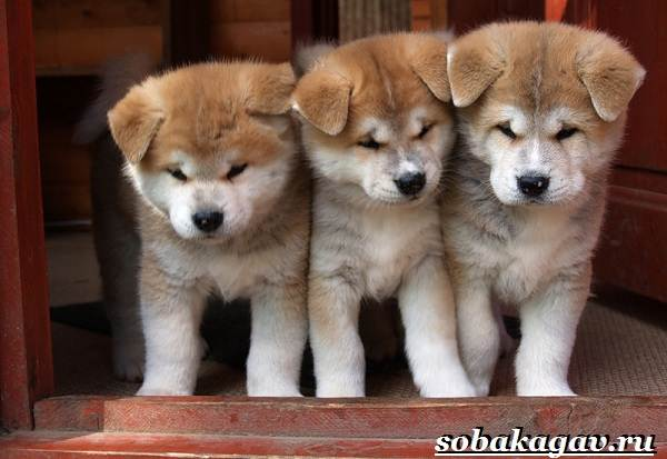 Акита-ину-собака-Описание-особенности-уход-и-цена-акита-ину-6