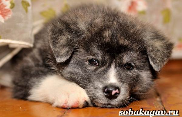 Акита-ину-собака-Описание-особенности-уход-и-цена-акита-ину-7