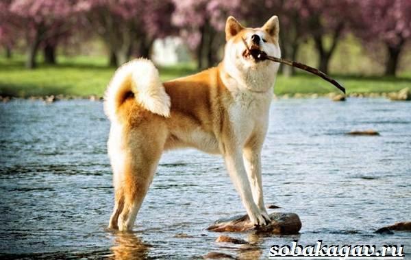 Акита-ину-собака-Описание-особенности-уход-и-цена-акита-ину-8