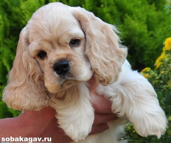 Американский-кокер-спаниель-собака-Описание-уход-и-цена-американского-кокер-спаниеля-3