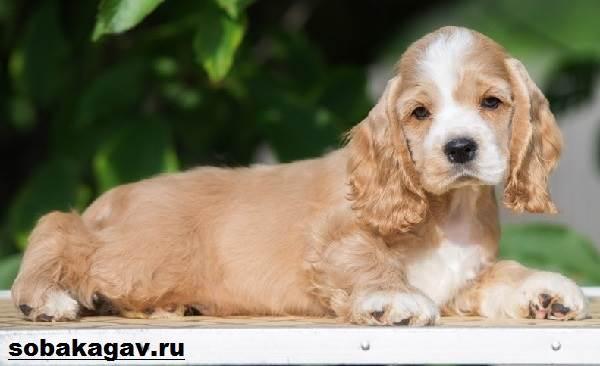 Американский-кокер-спаниель-собака-Описание-уход-и-цена-американского-кокер-спаниеля-4