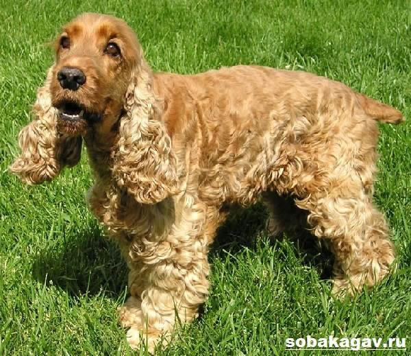 Американский-кокер-спаниель-собака-Описание-уход-и-цена-американского-кокер-спаниеля-6