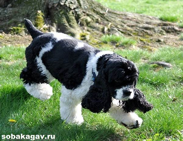 Американский-кокер-спаниель-собака-Описание-уход-и-цена-американского-кокер-спаниеля-7