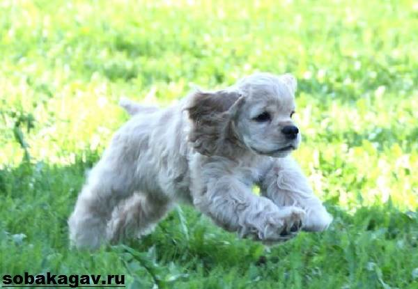 Американский-кокер-спаниель-собака-Описание-уход-и-цена-американского-кокер-спаниеля-8