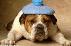 Английский бульдог собака. Описание, особенности, уход и цена английского бульдога