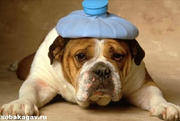 Английский-бульдог-собака-Описание-особенности-уход-цена-английского-бульдога-2