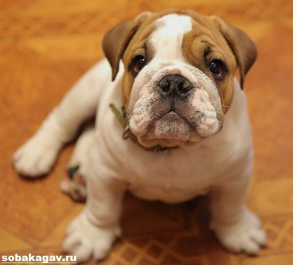 Английский-бульдог-собака-Описание-особенности-уход-цена-английского-бульдога-5