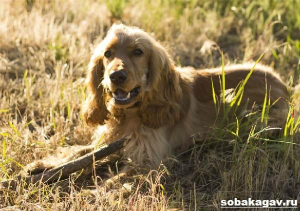 Английский-кокер-спаниель-собака-Описание-уход-и-цена-английского-кокер-спаниеля-1