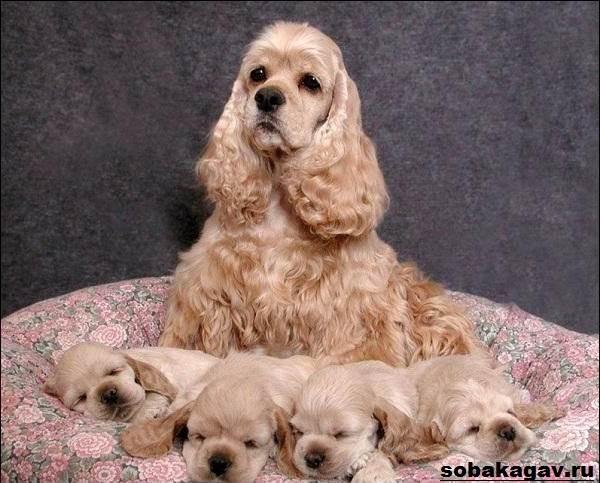 Английский-кокер-спаниель-собака-Описание-уход-и-цена-английского-кокер-спаниеля-10