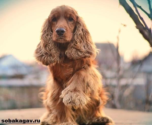 Английский-кокер-спаниель-собака-Описание-уход-и-цена-английского-кокер-спаниеля-2