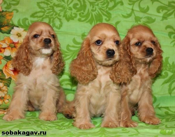Английский-кокер-спаниель-собака-Описание-уход-и-цена-английского-кокер-спаниеля-3