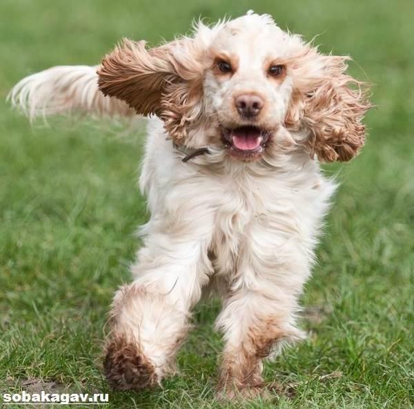 Английский-кокер-спаниель-собака-Описание-уход-и-цена-английского-кокер-спаниеля-4