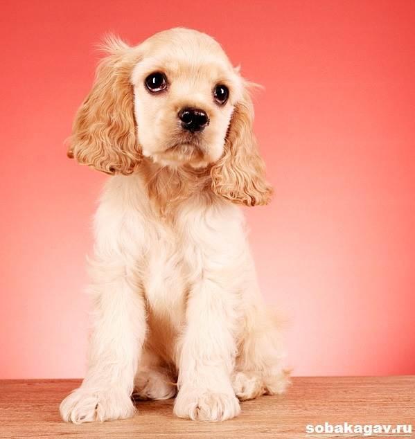 Английский-кокер-спаниель-собака-Описание-уход-и-цена-английского-кокер-спаниеля-5