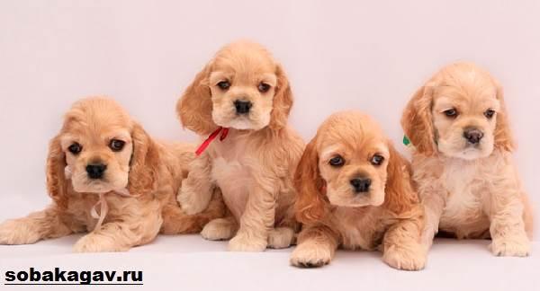 Английский-кокер-спаниель-собака-Описание-уход-и-цена-английского-кокер-спаниеля-6
