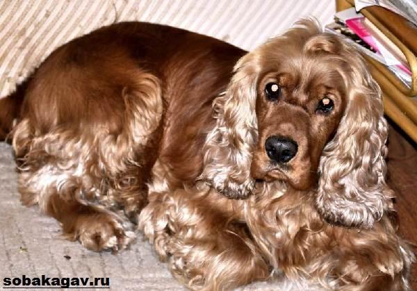 Английский-кокер-спаниель-собака-Описание-уход-и-цена-английского-кокер-спаниеля-8