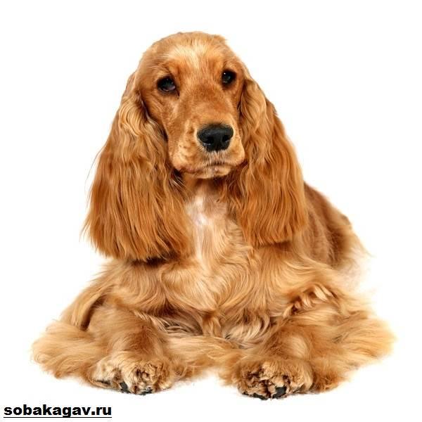 Английский-кокер-спаниель-собака-Описание-уход-и-цена-английского-кокер-спаниеля-9