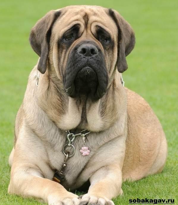 Английский-мастиф-собака-Описание-особенности-уход-и-цена-английского-мастифа-1