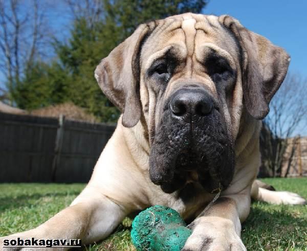 Английский-мастиф-собака-Описание-особенности-уход-и-цена-английского-мастифа-2