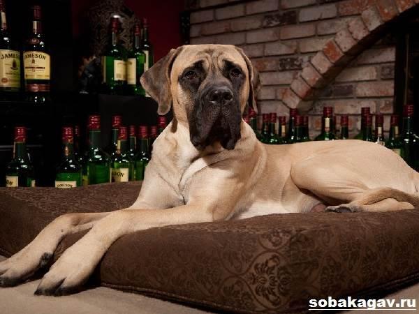 Английский-мастиф-собака-Описание-особенности-уход-и-цена-английского-мастифа-4