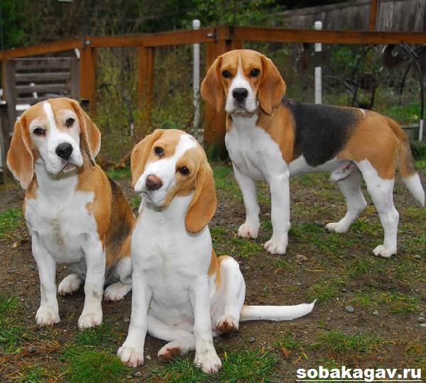 Бигль-собака-Описание-особенности-уход-и-цена-бигля-5