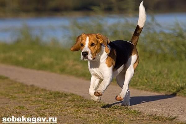 Бигль-собака-Описание-особенности-уход-и-цена-бигля-6