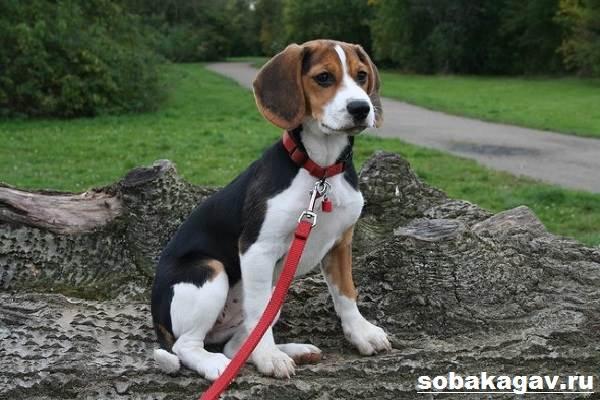 Бигль-собака-Описание-особенности-уход-и-цена-бигля-8