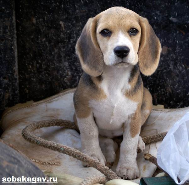 Бигль-собака-Описание-особенности-уход-и-цена-бигля-9
