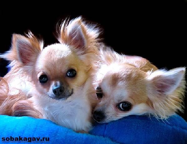 Чихуахуа-собака-Описание-особенности-уход-и-цена-чихуахуа-1