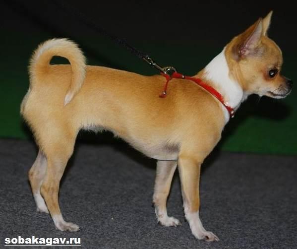 Чихуахуа-собака-Описание-особенности-уход-и-цена-чихуахуа-4