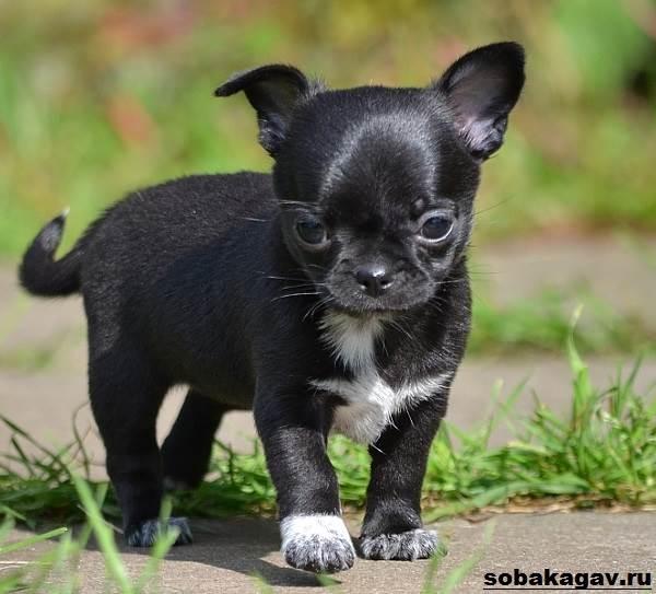 Чихуахуа-собака-Описание-особенности-уход-и-цена-чихуахуа-5