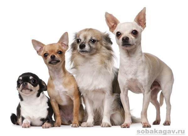 Чихуахуа-собака-Описание-особенности-уход-и-цена-чихуахуа-7