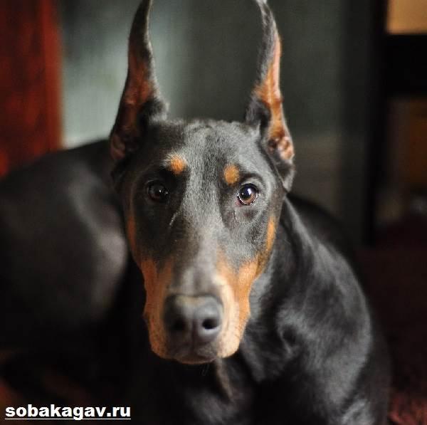 Доберман-собака-Описание-особенности-уход-и-цена-добермана-1