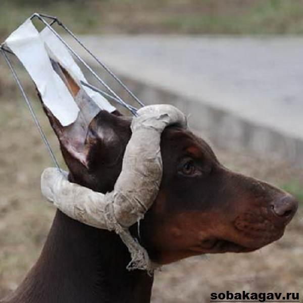Доберман-собака-Описание-особенности-уход-и-цена-добермана-10