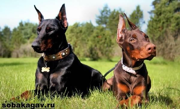 Доберман-собака-Описание-особенности-уход-и-цена-добермана-2