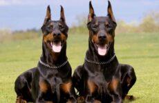Доберман собака. Описание, особенности, уход и цена добермана
