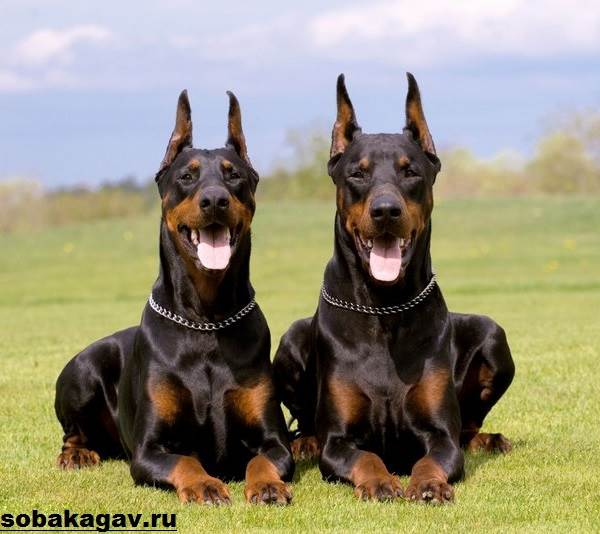 Доберман-собака-Описание-особенности-уход-и-цена-добермана-4