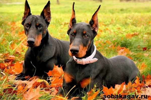 Доберман-собака-Описание-особенности-уход-и-цена-добермана-5