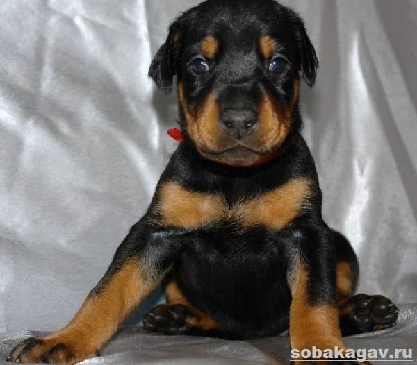 Доберман-собака-Описание-особенности-уход-и-цена-добермана-6
