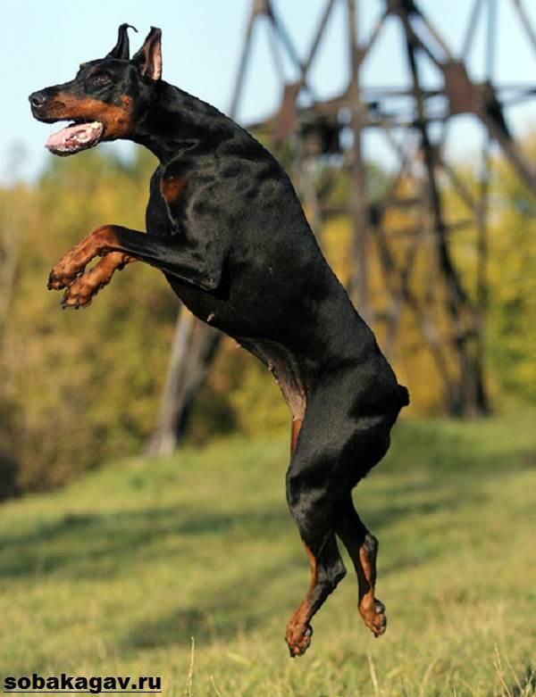 Доберман-собака-Описание-особенности-уход-и-цена-добермана-7