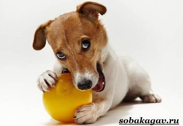 Джек-Рассел-терьер-собака-Описание-особенности-уход-и-цена-Джек-Рассел-терьера-12