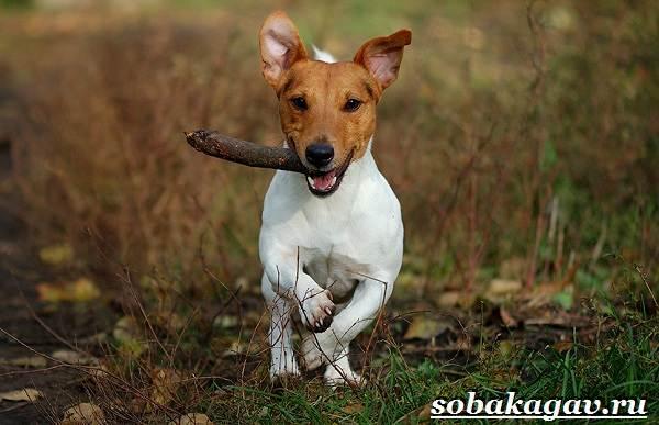 Джек-Рассел-терьер-собака-Описание-особенности-уход-и-цена-Джек-Рассел-терьера-2