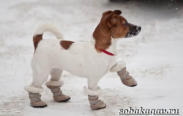 Джек-Рассел-терьер-собака-Описание-особенности-уход-и-цена-Джек-Рассел-терьера-3