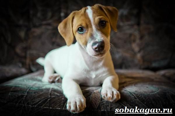 Джек-Рассел-терьер-собака-Описание-особенности-уход-и-цена-Джек-Рассел-терьера-5