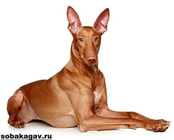 Фараонова-собака-Описание-особенности-уход-и-цена-фараоновой-собаки-1