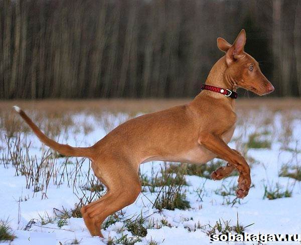 Фараонова-собака-Описание-особенности-уход-и-цена-фараоновой-собаки-10